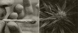 cannabis_1_2