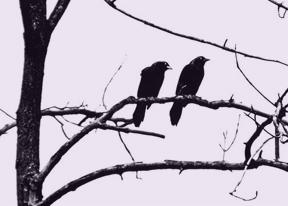 Crow's caw_1_2