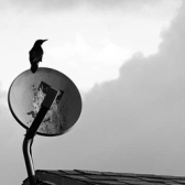 Crow's caw_2